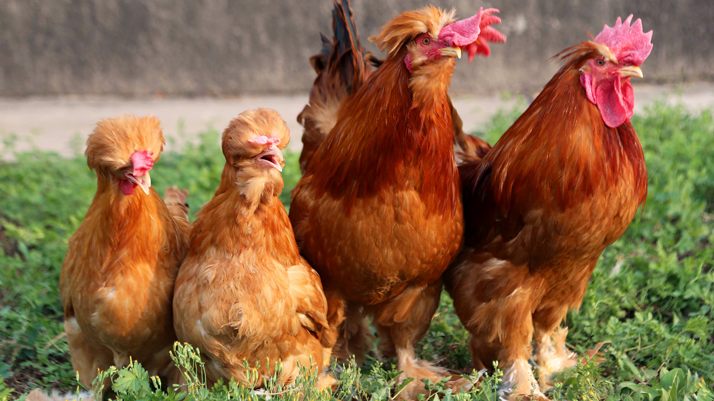 Bearded Chickens Geneticists In China Have Discovered The