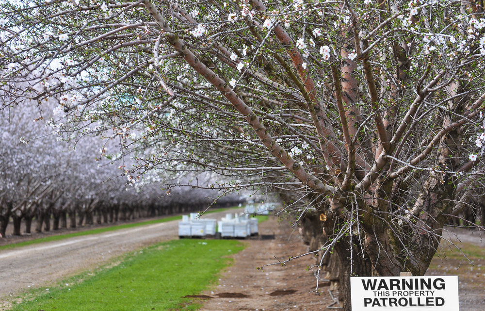 Between January and March, beekeepers send millions of hives to California to pollinate almond trees. A sign in this almond orchard warns it is patrolled — a measure to combat rising beehive thefts.