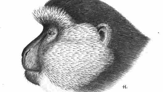 Haddow was a talented artist. Here's his sketch of a monkey at his lab in Uganda.