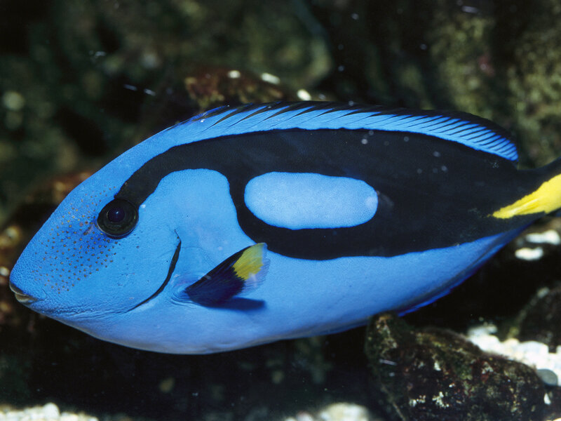ca9949f8ebc Please, Let's Not Find Dory: Why Buying A Blue Tang Is A Bad Idea ...