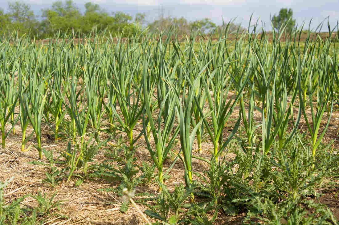 Fall-planted garlic grows at the Iowa State University Student Organic Farm north of Ames.