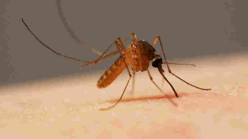 A common house mosquito (Culex pipiens) is about to sink her six-weaponed proboscis into a human arm. This type transmits West Nile virus by biting infected birds, then biting humans.