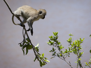 The culprit is believed to be a vervet monkey (though not this particular one, photographed in 2012 in Kenya's Maasai Mara).