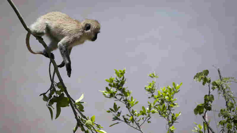 Hapless Monkey Single-Handedly Triggers Nationwide Blackout In Kenya