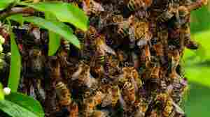 Spring Is Swarm Season, When Beekeepers Are On The Hunt For New Hives