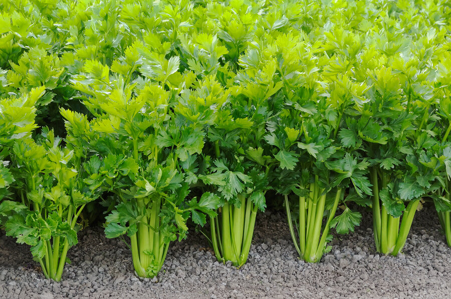 celery க்கான பட முடிவு