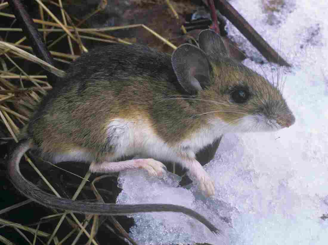One possible option in the effort to fight Lyme disease is to let loose thousands of genetically engineered mice on Nantucket Island.