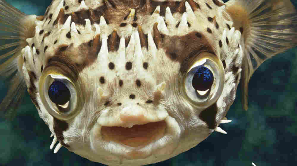 Fish Have Feelings, Too: The Inner Lives Of Our 'Underwater Cousins'