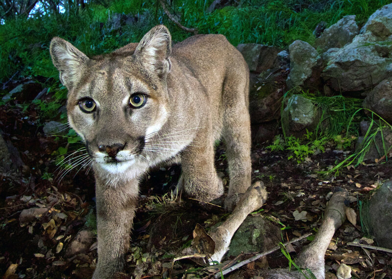 Colorado Mother Fights Off Mountain Lion To Save Her Son   The Two ... 832dcf3a18