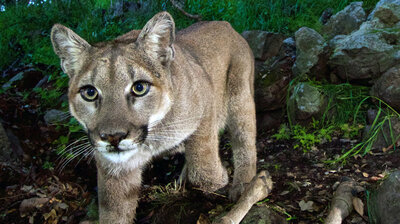 mountain lion : NPR