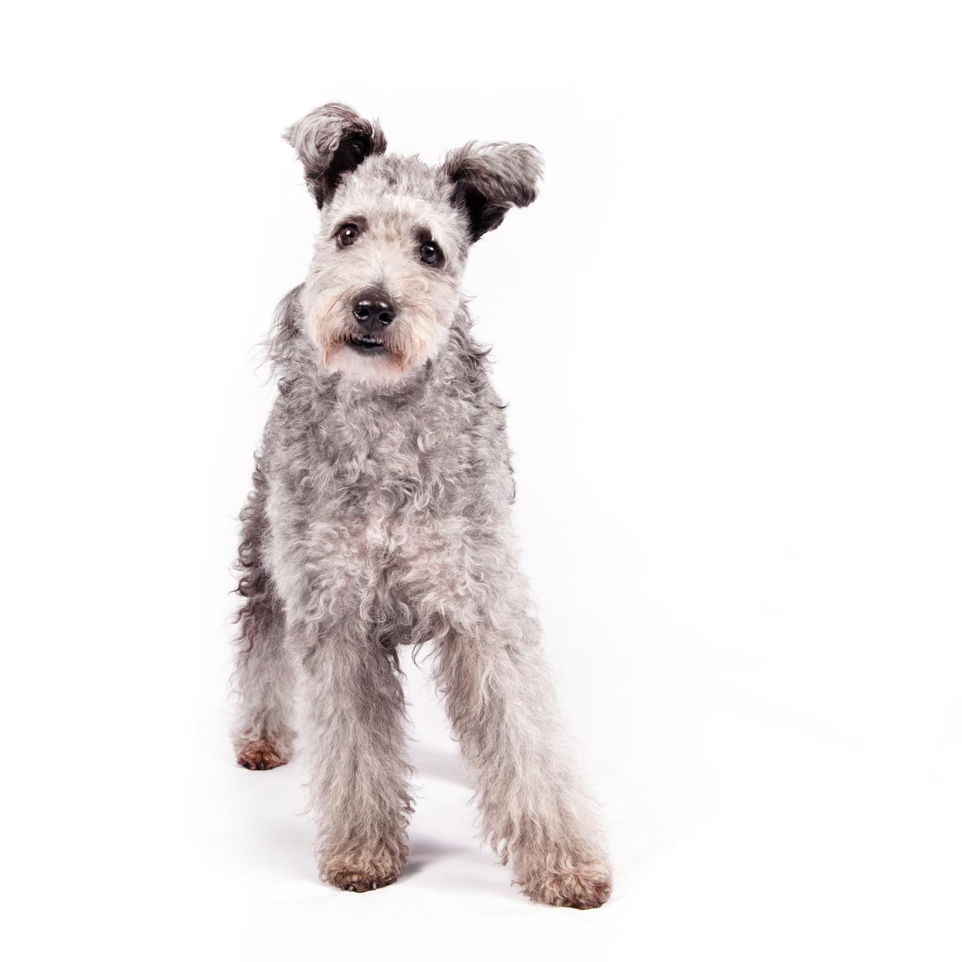 Dog Show Pumi