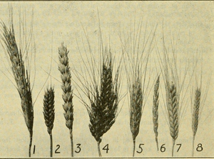 An illustration showing spikes of different types of wheat: 1. Polish wheat; 2. club wheat; 3. common bread wheat; 4. Poulard wheat; 5. durum wheat; 6, spelt; 7, emmer; 8, einkorn.