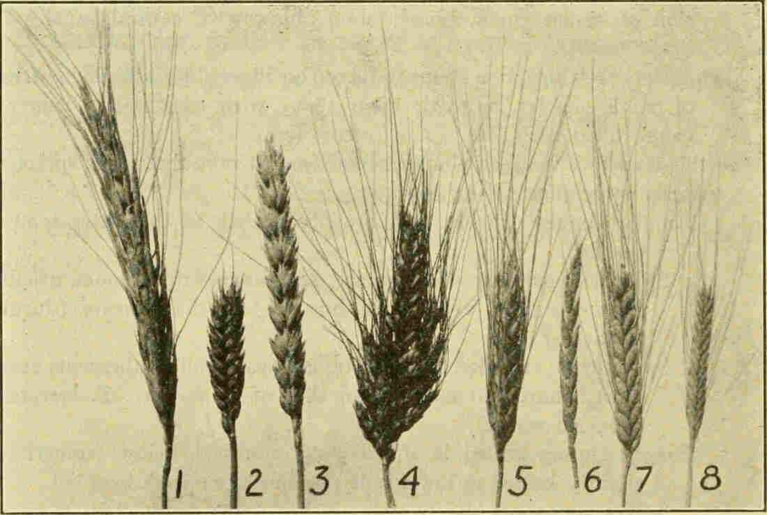 An illustration shows spikes of different types of wheat: (1) Polish wheat (2) Club wheat (3) Common bread wheat (4) Poulard wheat (5) Durum wheat (6) Spelt (7) Emmer (8) Einkorn.