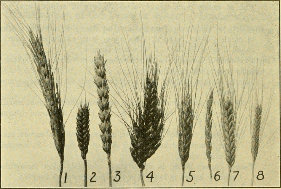 An illustration shows spikes of different types of wheat: (1) Polish wheat (2) Club wheat (3) Common bread wheat (4) Poulard wheat (5) Durum wheat (6) Spelt (7) Emmer (8) Einkorn. (The Library of Congress/Flickr The Commons)