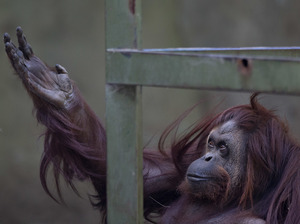 In this Dec. 22, 2014, file photo, Sandra the orangutan sits in her enclosure at Buenos Aires Zoo in Argentina.