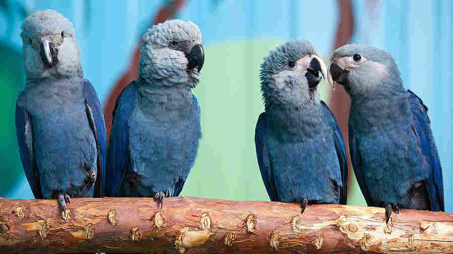 Spix's macaws (from left to right) Felicitas, Frieda, Paula and Paul sit on a branch in their aviary in Germany. The species has not been seen in the wild for 15 years until the recent sighting in Brazil.