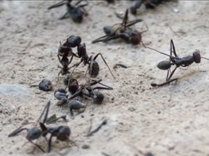 These ants are some of the stars of the award-winning film Ant by Rustam Orifi.