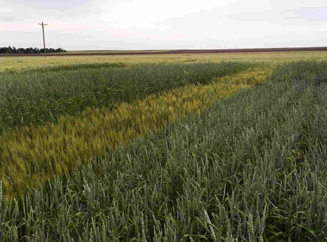A test plot of spelt on a farmer's field near Chappell, Neb.