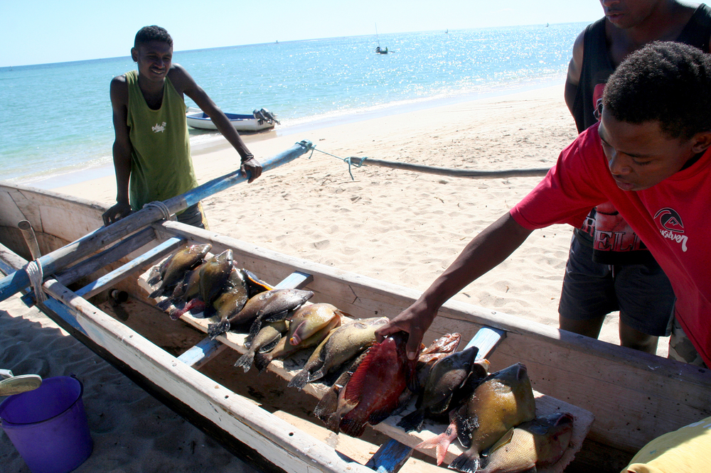 Fish caught in southwestern Madagascar by subsistence fishermen who travel in pirogues — with sails made of rice sacks — to capture fish with nets or lines.