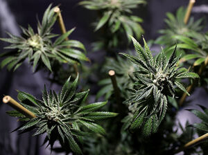 A marijuana plant is displayed during the 2016 Cannabis Business Summit & Expo last month in Oakland, Calif.