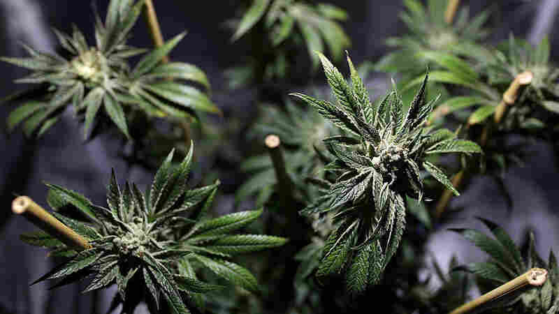California To Vote On Legalizing Recreational Marijuana