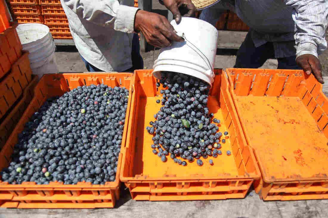 A worker drops off his blueberries at a weigh station at Blueberry Hill Farms.