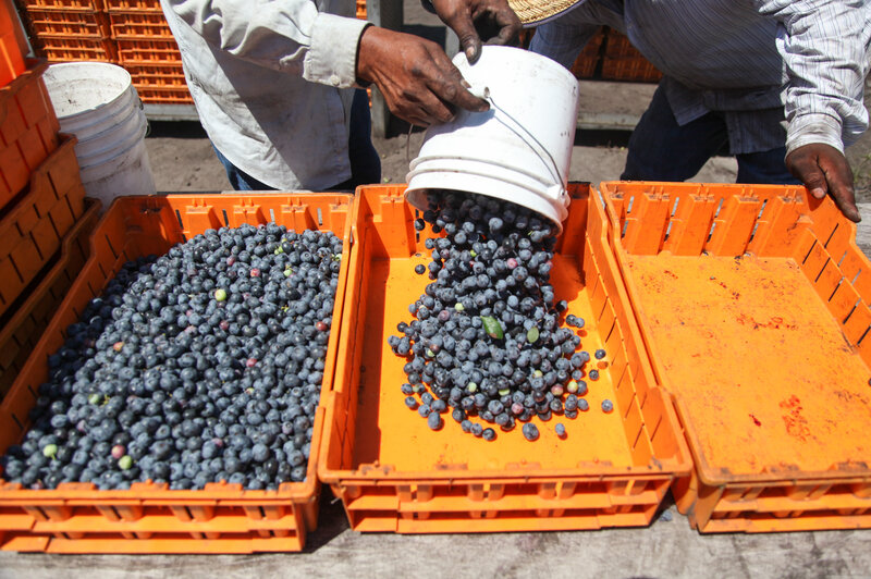For Pickers, Blueberries Mean Easier Labor But More Upheaval