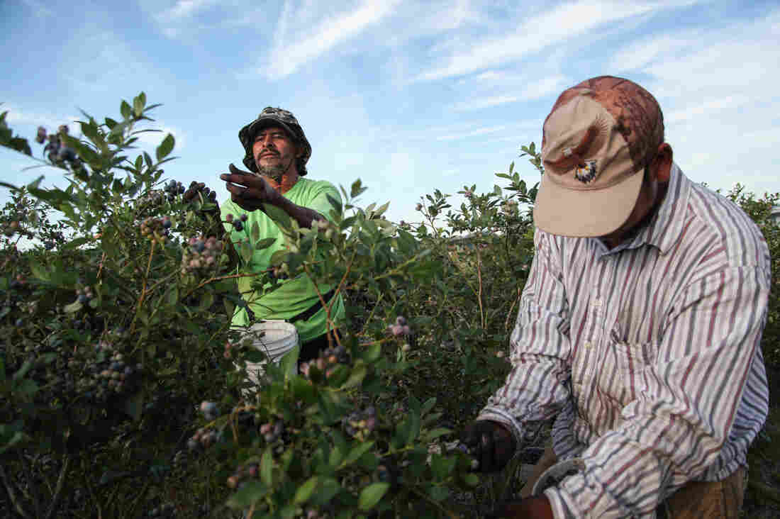 Alberto and Javier are pickers at Blueberry Hill Farms.