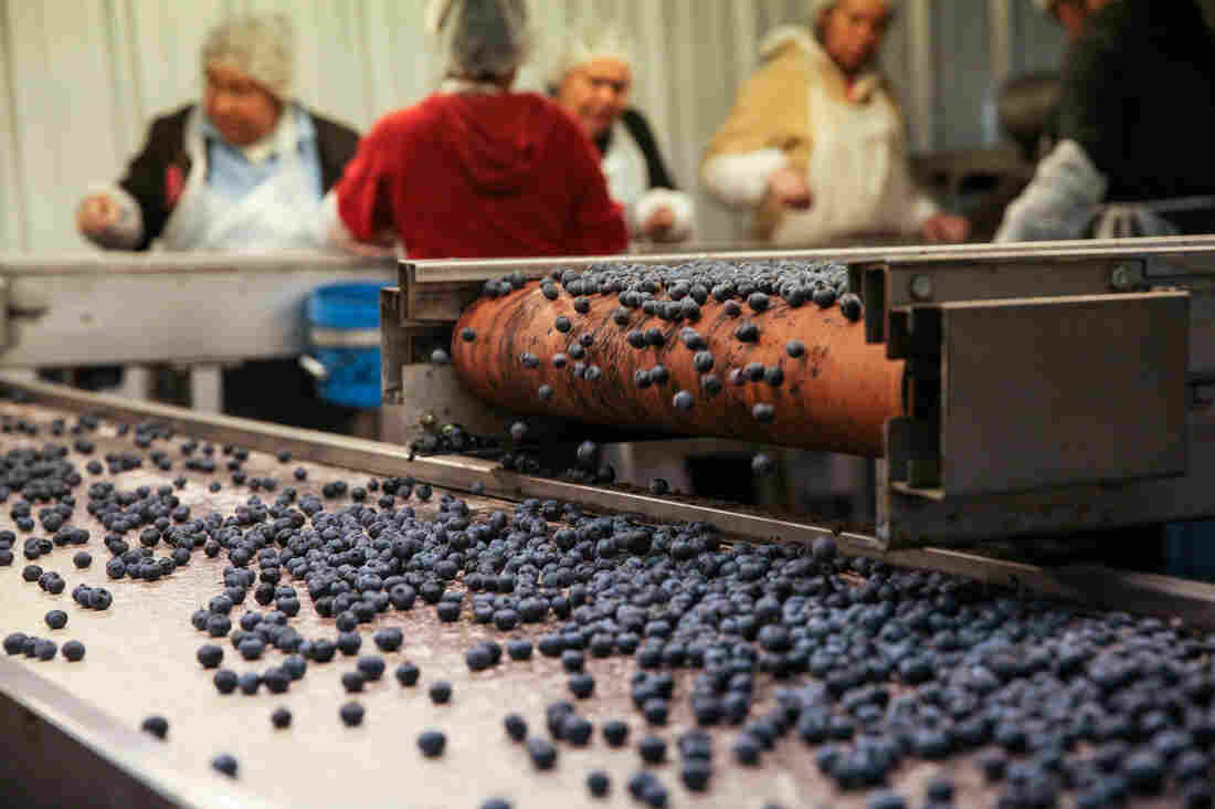 Blueberries being processed and packaged.