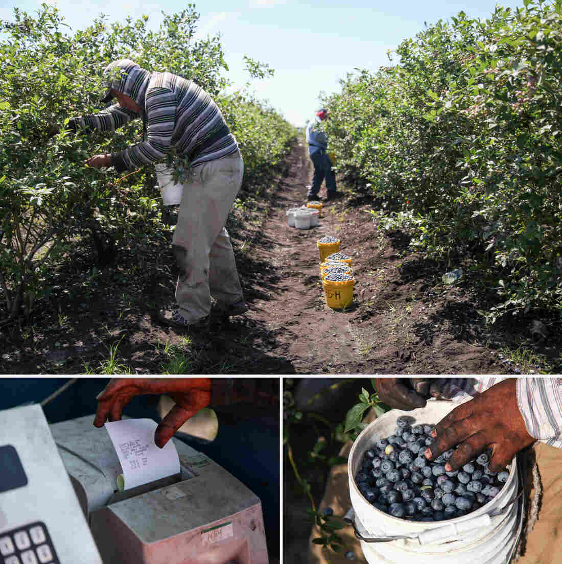 Blueberry pickers are paid by the pound. They take their buckets to a weigh station where they receive a ticket to cash in later.