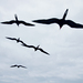 Nonstop Flight: How The Frigatebird Can Soar For Weeks Without Stopping