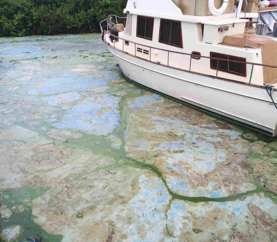 Algae covered water at Stuart's Central Marine boat docks on Thursday in Stuart, Fla.