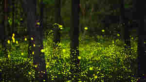 Oh, it looks magical, sure — but this scene packs some menace, too, at least for a few unlucky male fireflies.