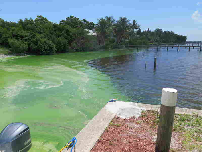 Florida Gov. Rick Scott has asked President Obama to declare a federal emergency and make federal emergency funds available to deal with the algae bloom.