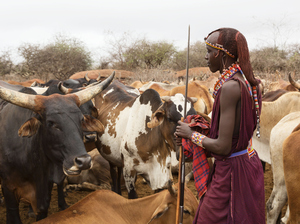 "A Maasai warrior with cattle in Kenya. His beaded adornments are the kind of objects featured at the Baltimore Museum of Art's ""Designs for Mobile Living: Art from Eastern Africa"" exhibit."