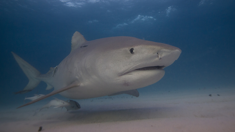 """Marine ecologist Neil Hammerschlag says he can sometimes identify sharks like Emma (pictured) by the way they move. """"It's pretty cool to be able to jump in the water and say, 'Hey look, there's Emma the tiger shark!' """" (Neil Hammerschlag)"""