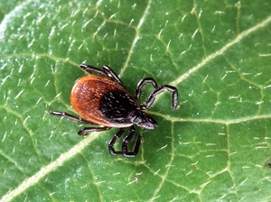 Reducing the number of deer ticks in a yard can reduce the risk of Lyme disease. But no strategies are a sure thing.