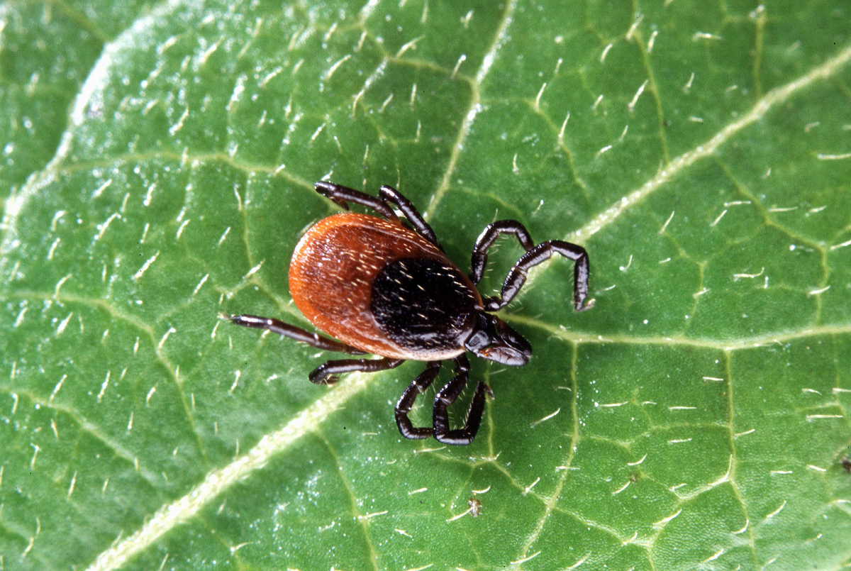 fighting the battle against lyme disease ticks in the backyard