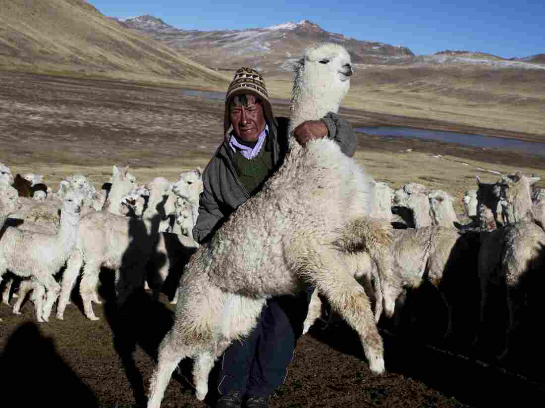 Agustin Mayta Condori shows his sick alpaca that he predicted would die the next day due to sub-freezing temperatures in the the southern Andes in Peru. Thousands of alpacas have died in the region.