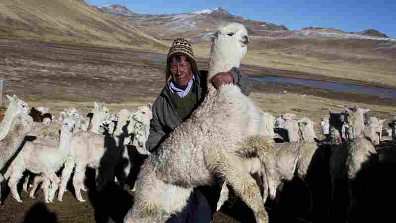 Tens Of Thousands Of Alpacas Die In Peruvian Cold Snap