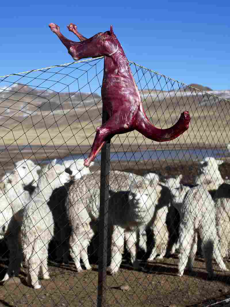 A skinned alpaca, which died due to sub-freezing temperatures, hangs on a fence above live alpacas in Peru. Alpaca owners are butchering their dead animals to cook for their families. The Peruvian government has declared a state of emergency in the farming regions where alpacas are raised.