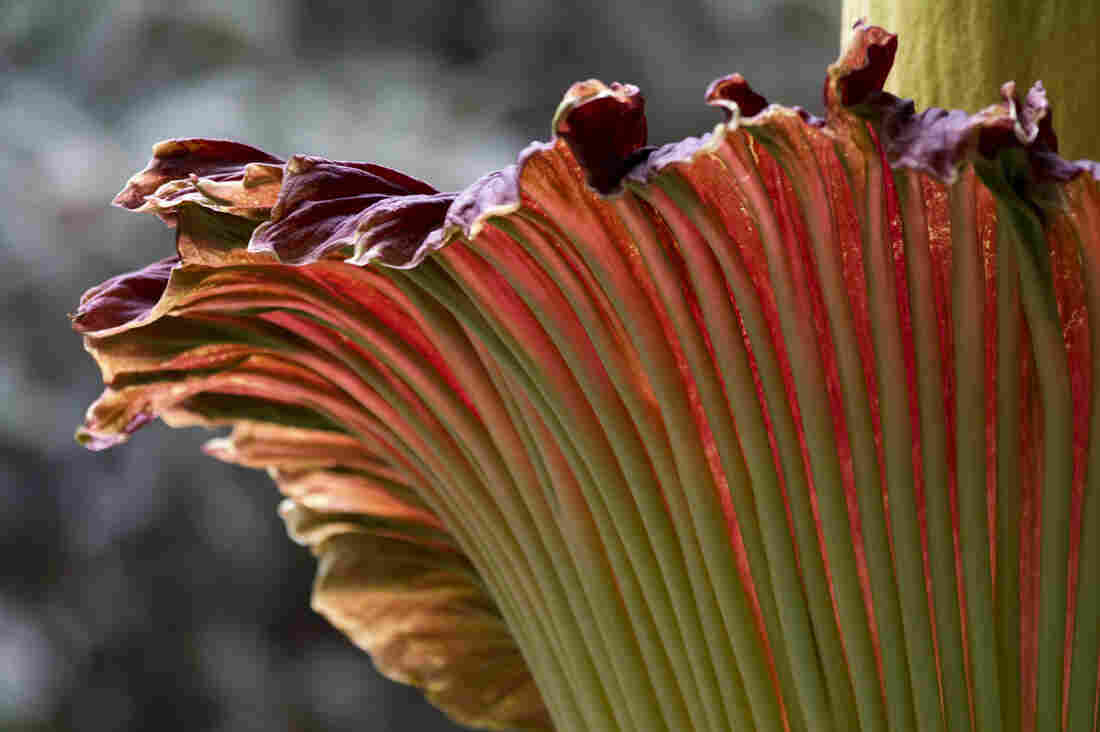 """A """"corpse flower"""" is seen in bloom at the U.S. Botanic Garden in Washington, D.C. in 2013. This is a different flower than the one about to bloom in New York."""