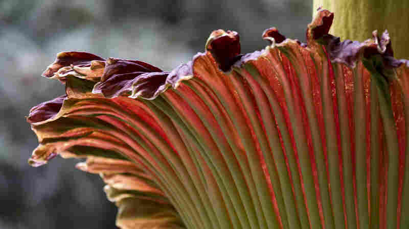 """A """"corpse flower"""" is seen in bloom at the U.S. Botanic Garden in Washington, D.C., in 2013. This is not the same flower that's about to bloom in New York."""