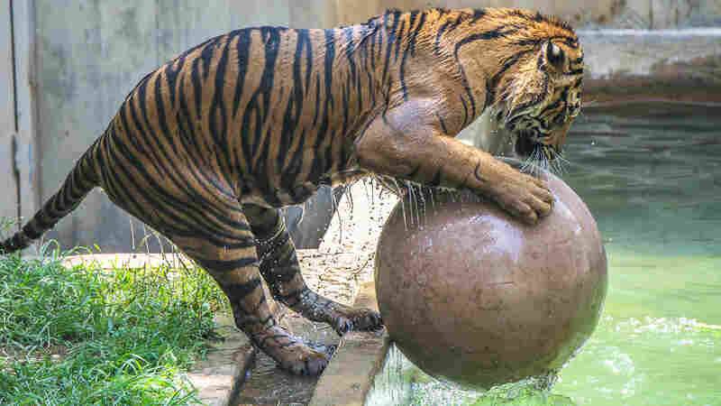 Bandar, a male tiger, plays with a ball made of tough plastic in the pool to keep cool on a hot day at the National Zoo.