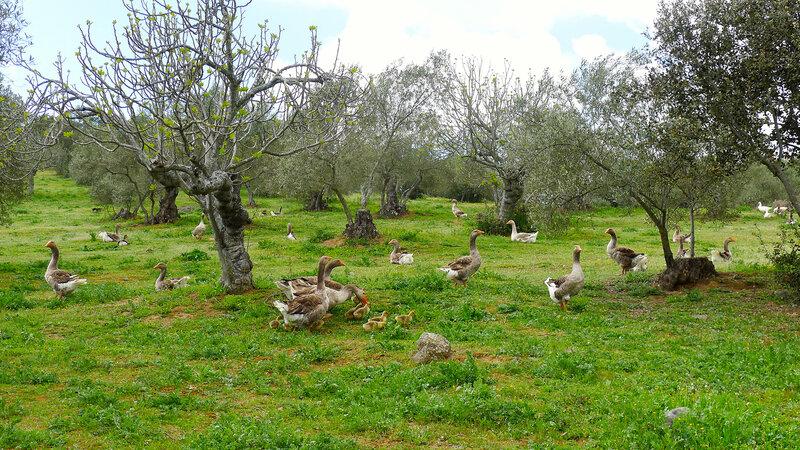 This Spanish Farm Makes Foie Gras Without Force-Feeding : The Salt : NPR