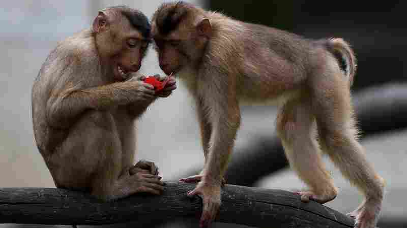Primate Rampage: Monkeys Rip Up Voter Lists In Thailand