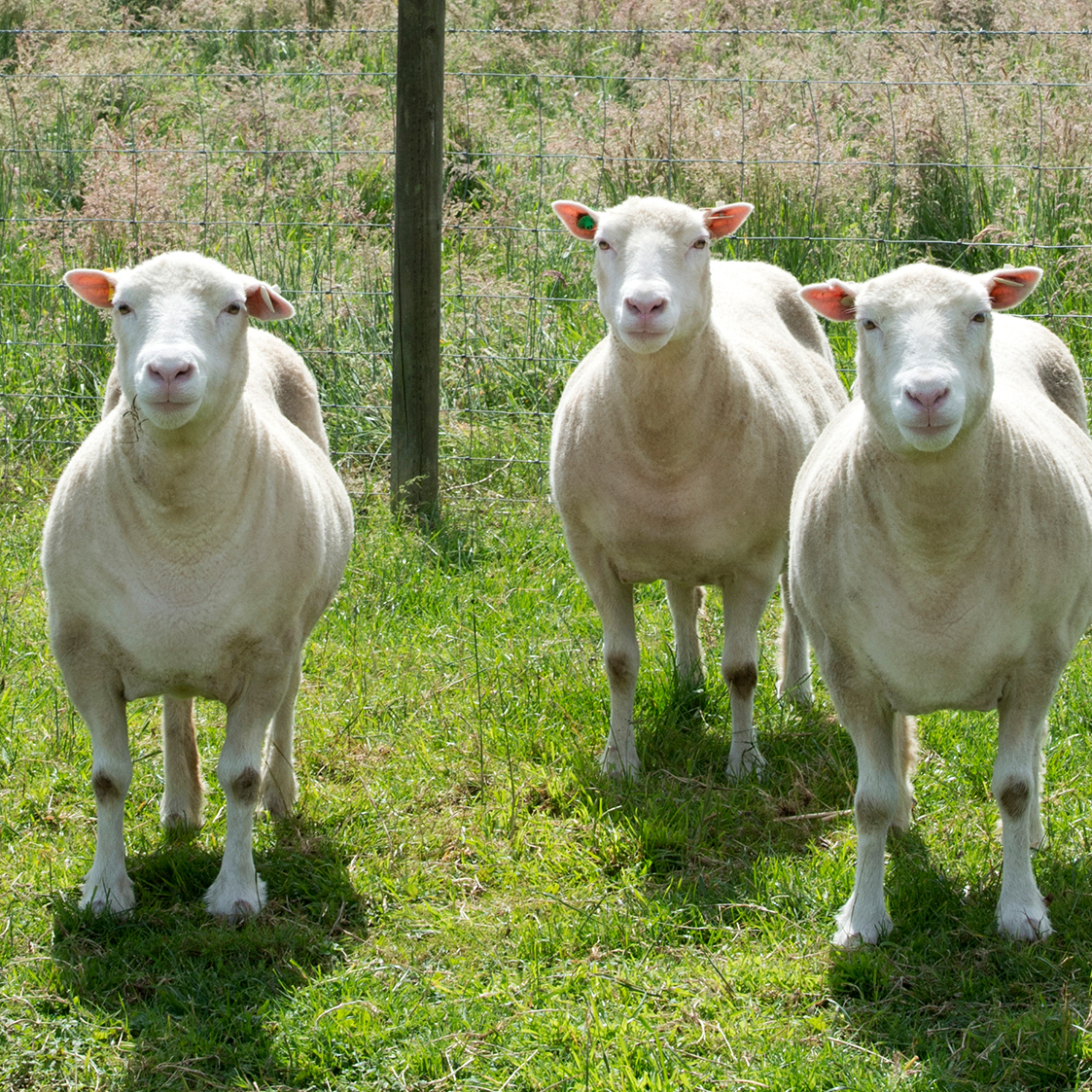 Image for 'Clone Sisters' Of Dolly The Sheep Are Alive And Kicking