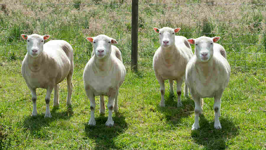 Four sheep cloned from the same genetic material as Dolly roam the paddocks in Nottingham, England.