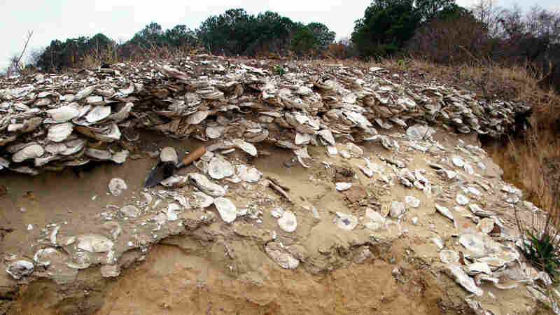A typical Native American oyster deposit, or midden, dating to about 1,000 years ago. Archaeologists are finding clues to sustainable oysters harvesting in these remains.