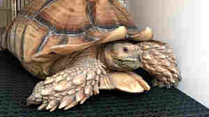 Tortoise Wins Again: Slow And Steady Pace Outruns L.A. Fire